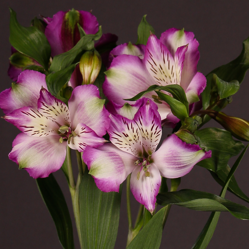Alstroemeria Hawaiian Dream