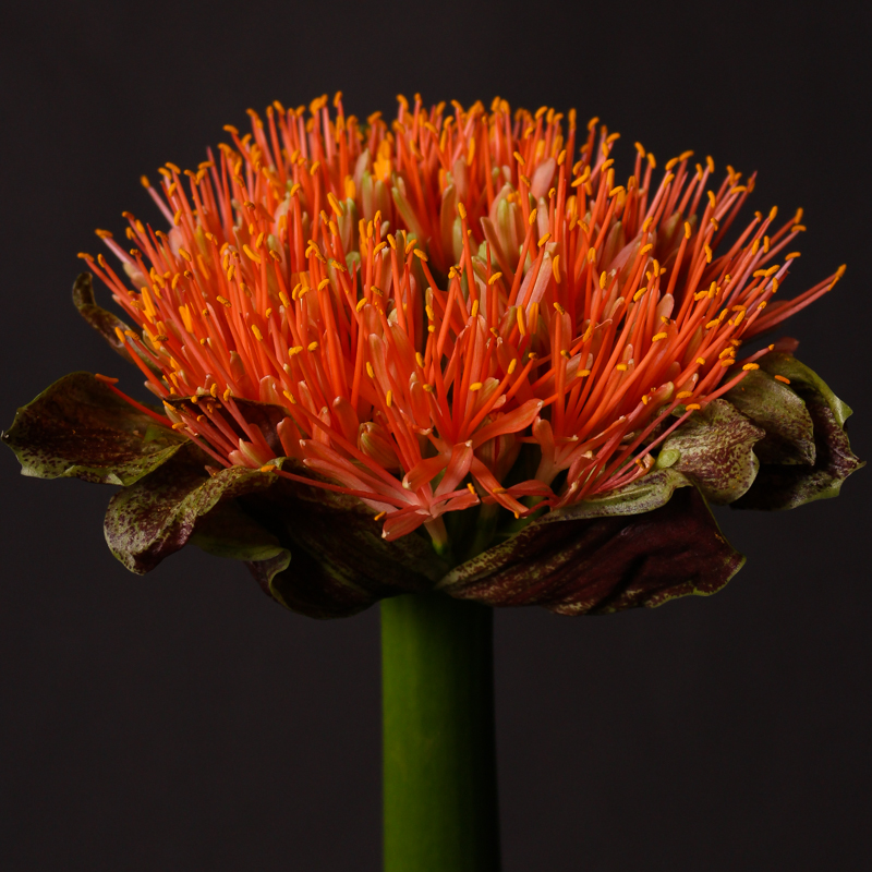 Scadoxus Orange Wonder