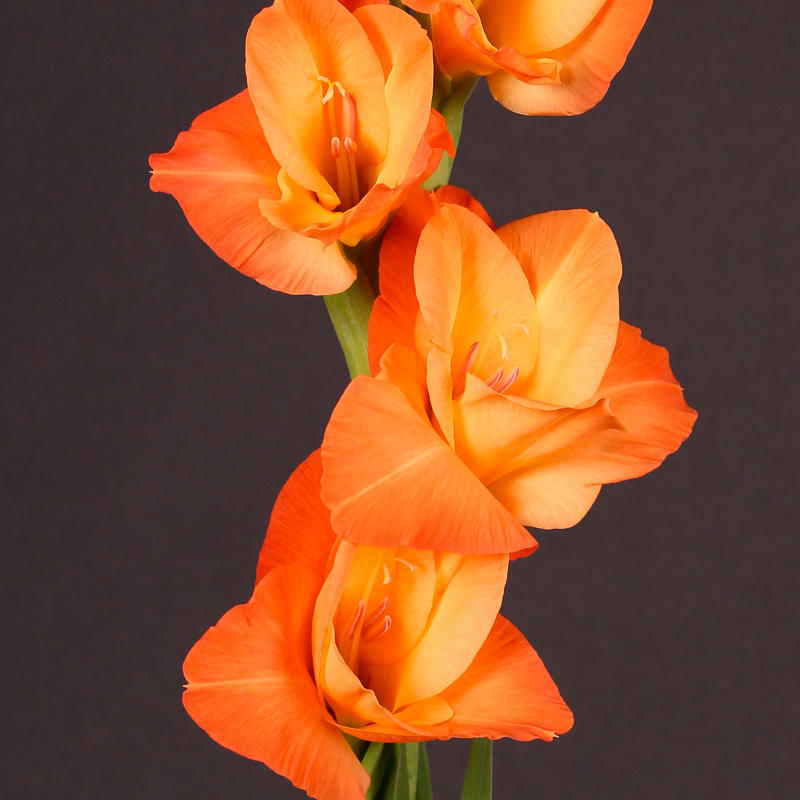 Gladiolus Prince Of Orange