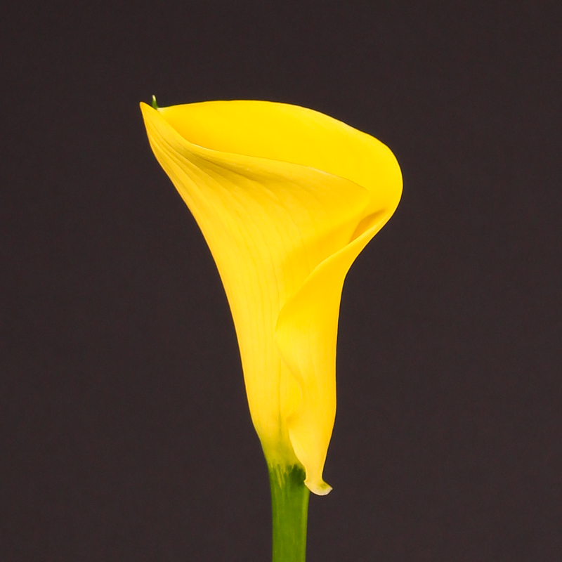 Zantedeschia Captain Aguila®