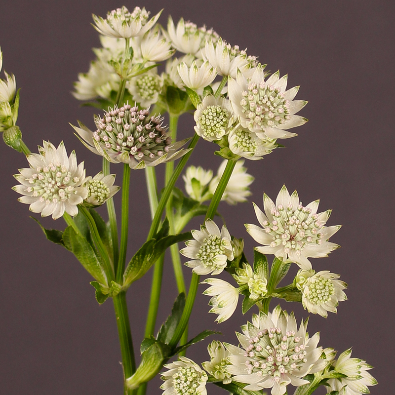 Astrantia Billion Star