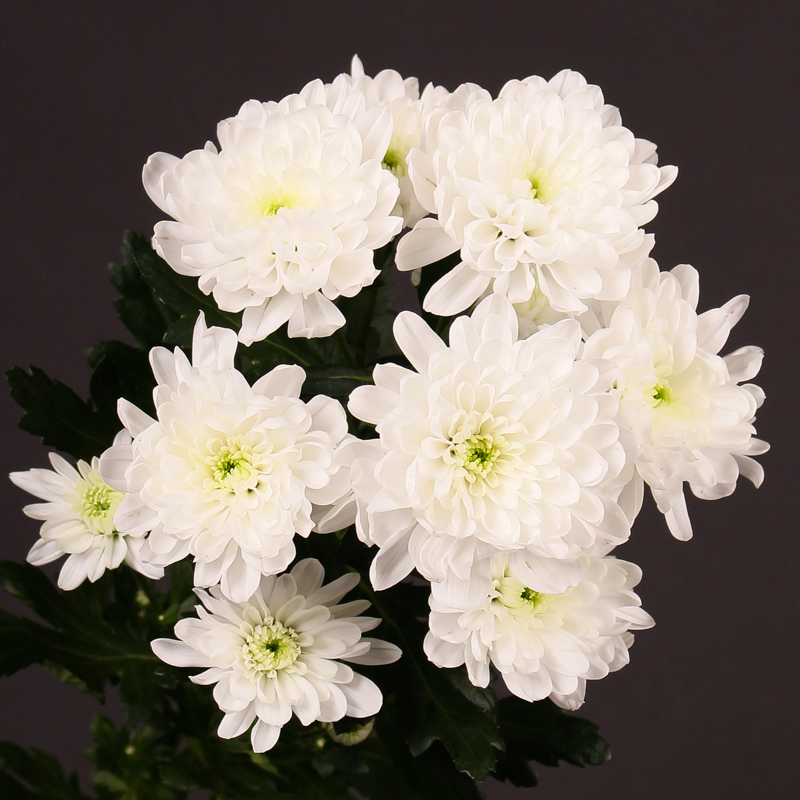 Chrysanthemum Baltica
