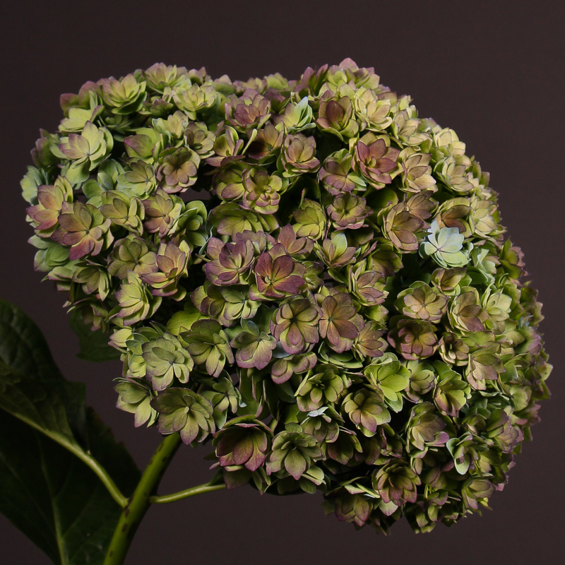 Hydrangea Together Classic
