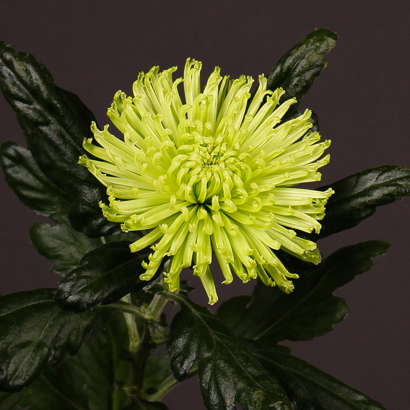 Chrysanthemum Anastasia Dark Lime