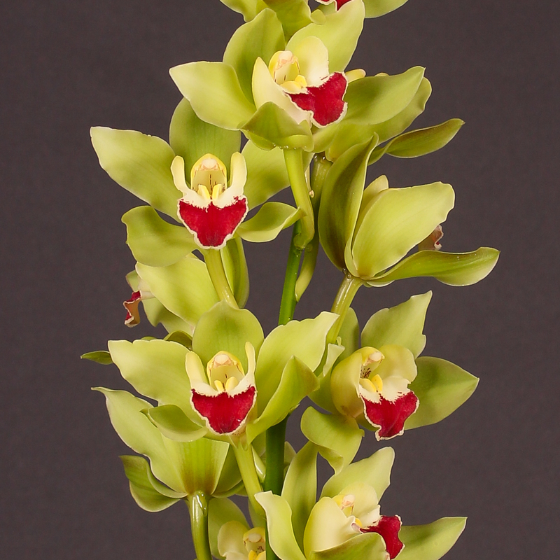 Cymbidium Green Breeze Lisa