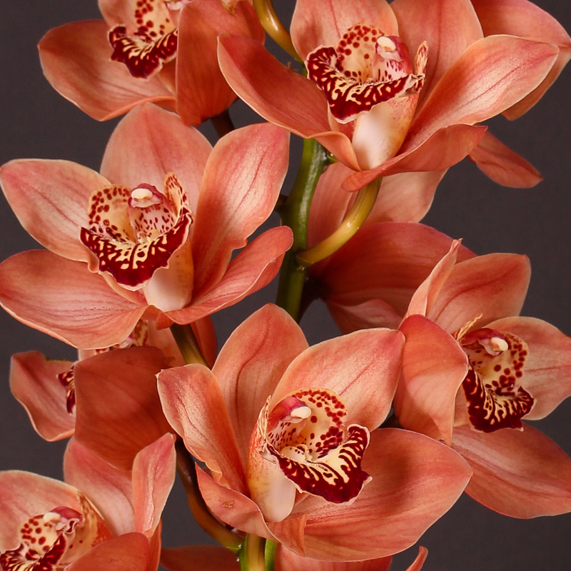 Cymbidium Browny