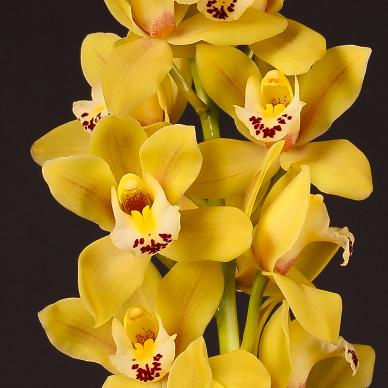 Cymbidium Mary Pinchess