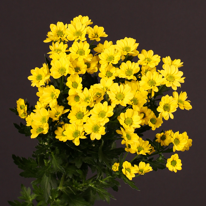 Chrysanthemum Madiba®ringa Yellow