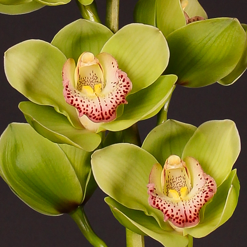 Cymbidium Majestic