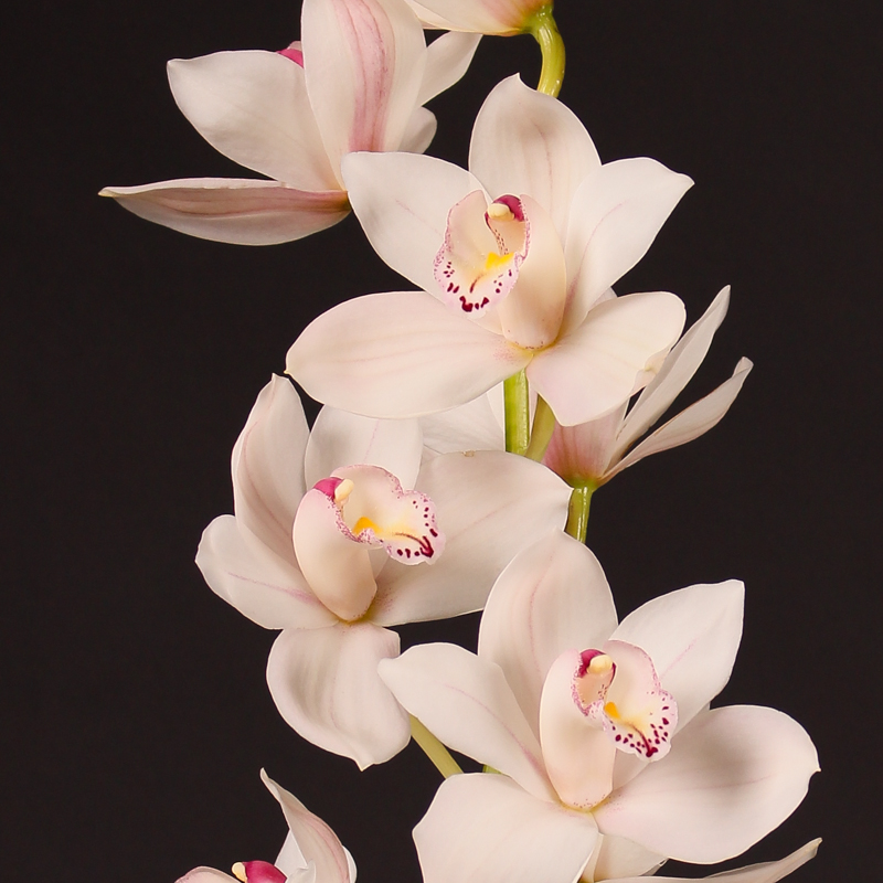 Cymbidium White Fair