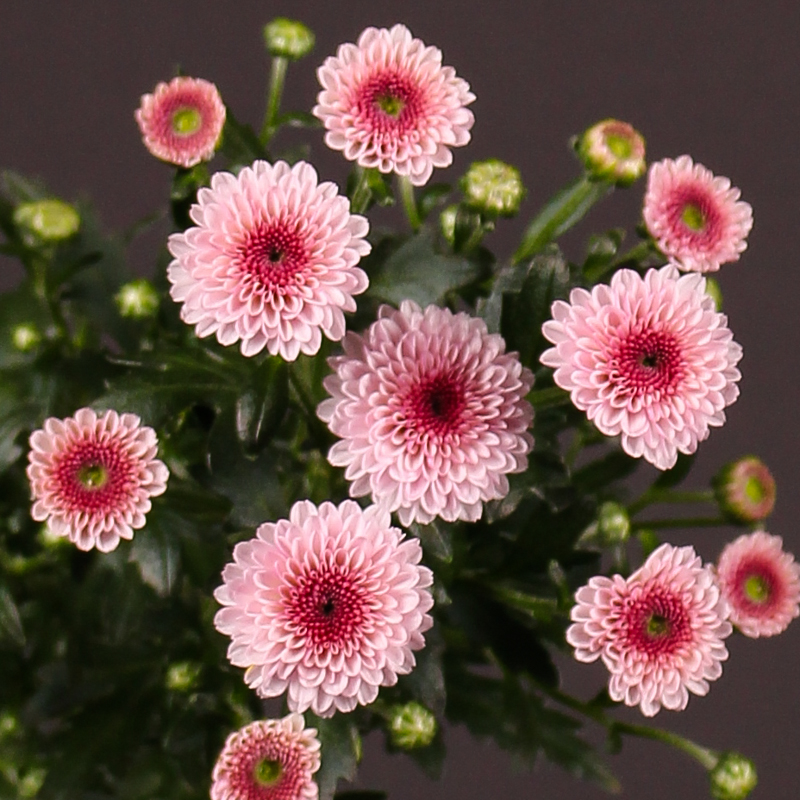 Chrysanthemum Calimero Pink