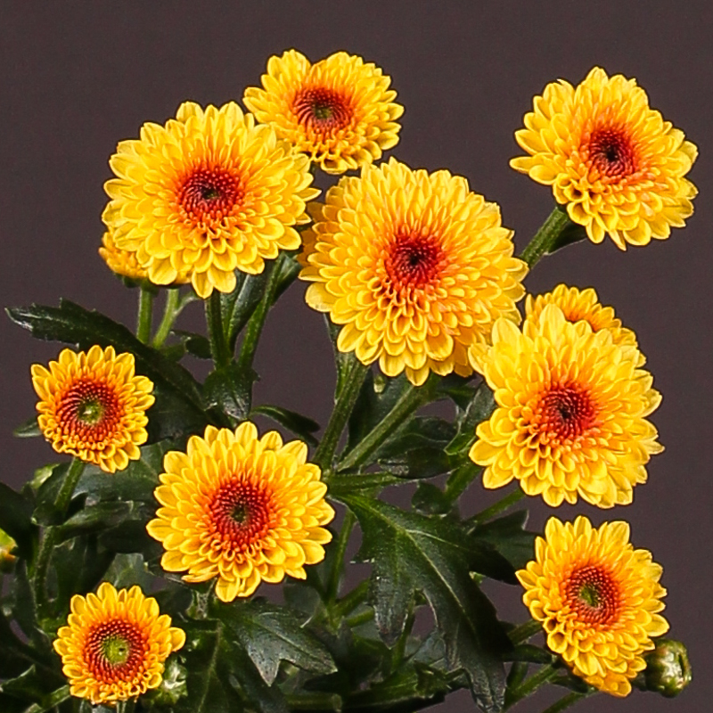 Chrysanthemum Calimero Shiny