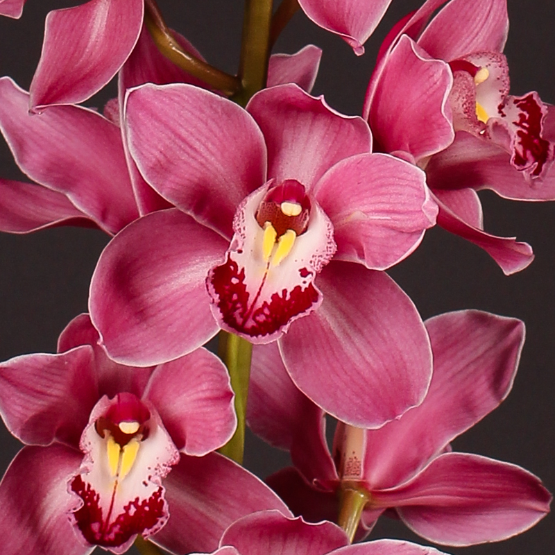 Cymbidium Princess