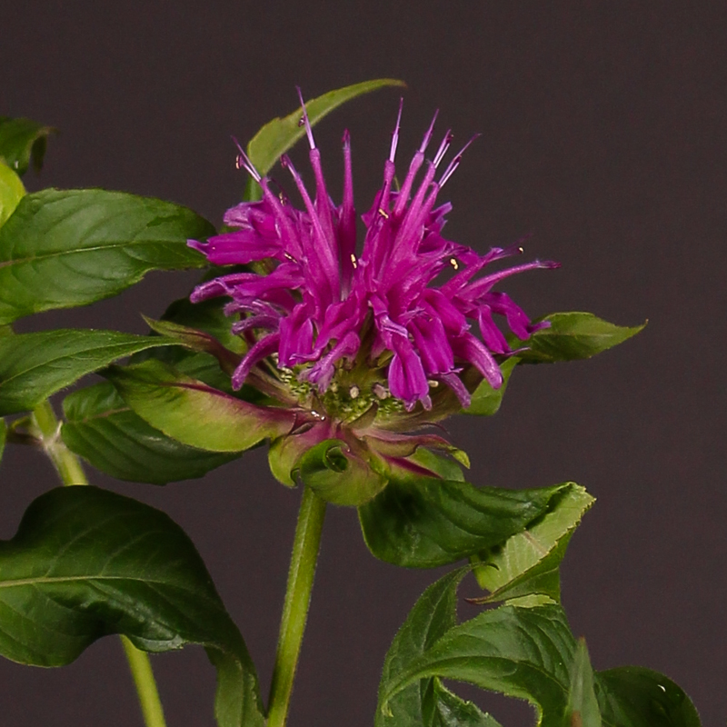 Monarda Purple Foutain