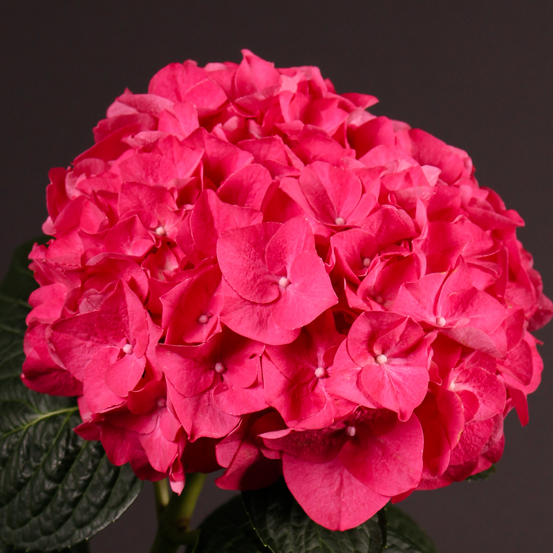 Hydrangea Rodeo Red