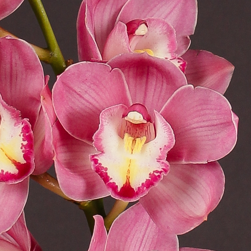 Cymbidium Winner