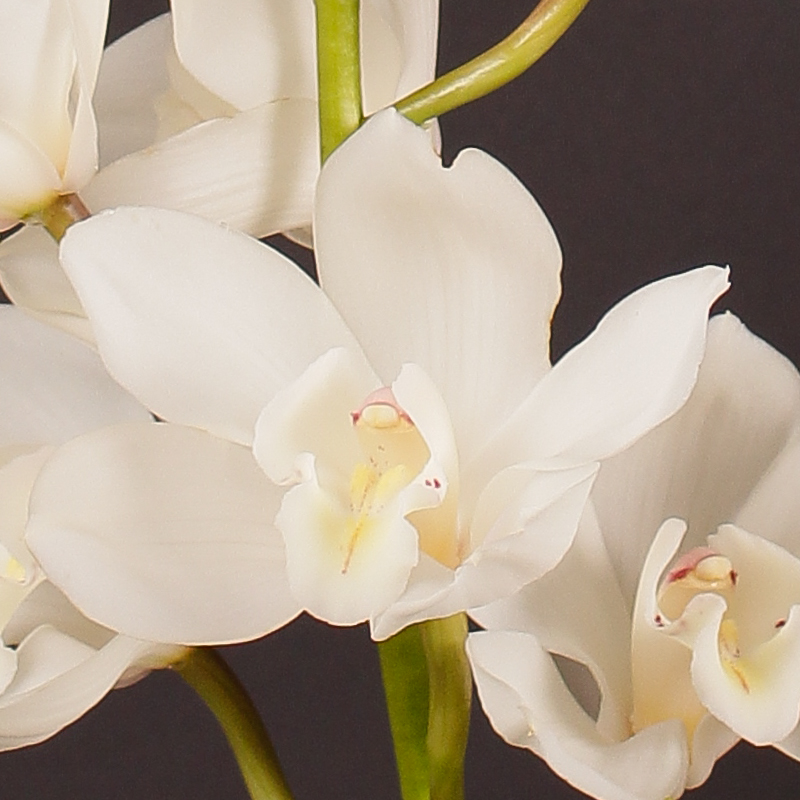 Cymbidium Early White