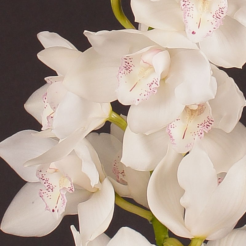 Cymbidium Snow White