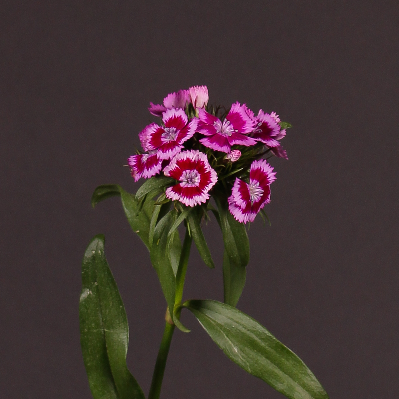 Dianthus Aldo Purple