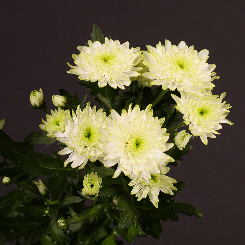 Chrysanthemum Zembla Lime