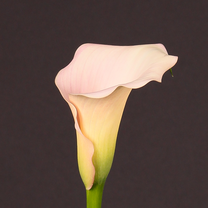 Zantedeschia Captain Melrose®