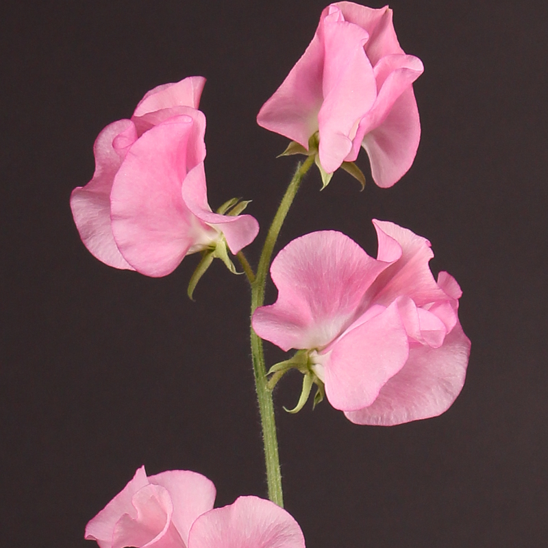 Lathyrus Winter Sunshine Pink