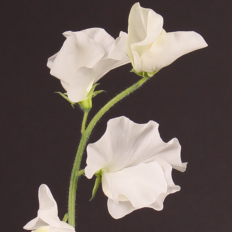 Lathyrus Winter Sunshine White