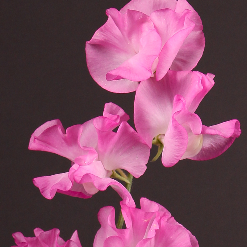 Lathyrus Winter Sunshine Rose