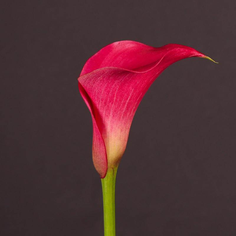 Zantedeschia Pink Jewel