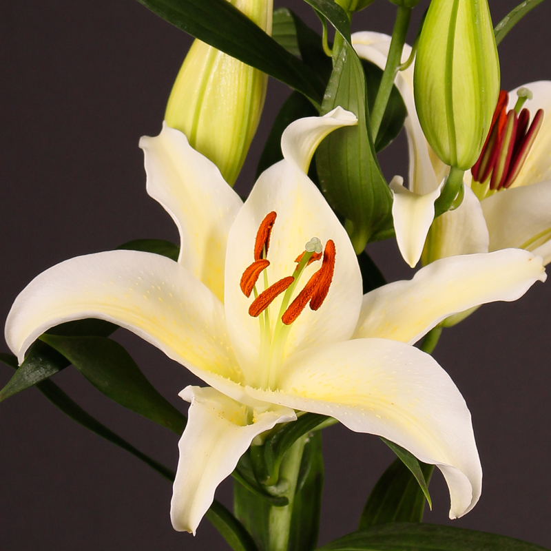Lilium Oriental Chill Out