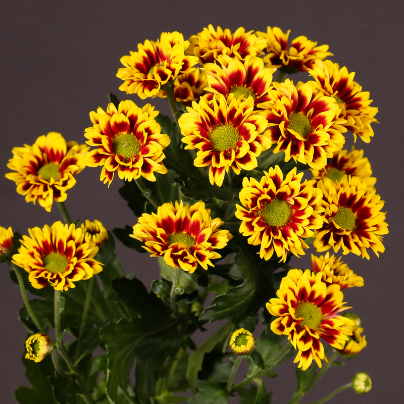 Chrysanthemum Raisa