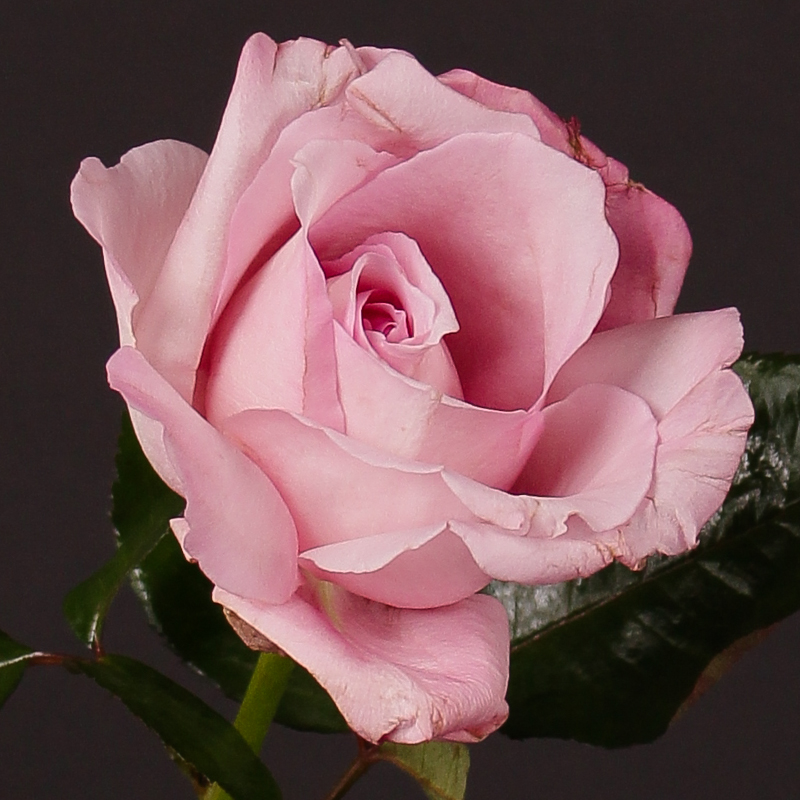 Rosa The Real Rose