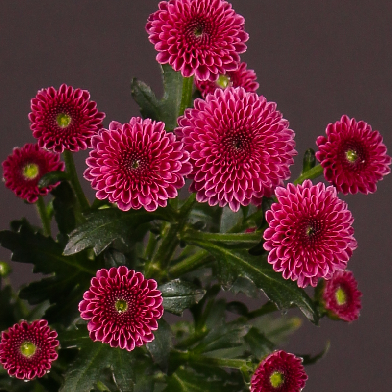 Chrysanthemum Calimero Dark Pink
