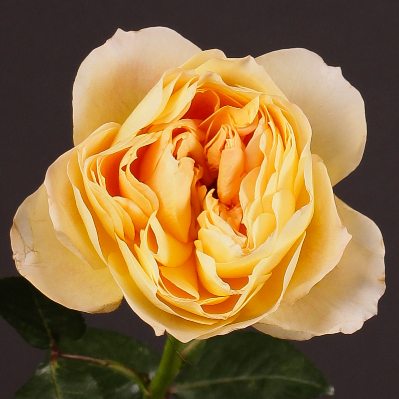 Rosa Caramel Antique