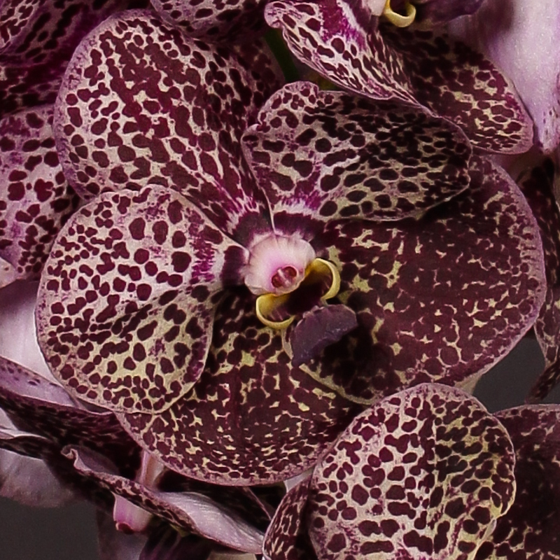 Vanda Deep Purple Spots