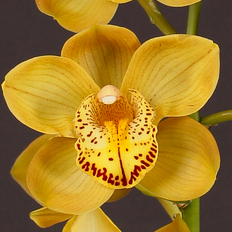 Cymbidium Chestnut Kate