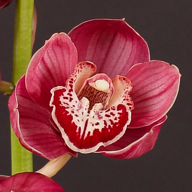 Cymbidium Sheena