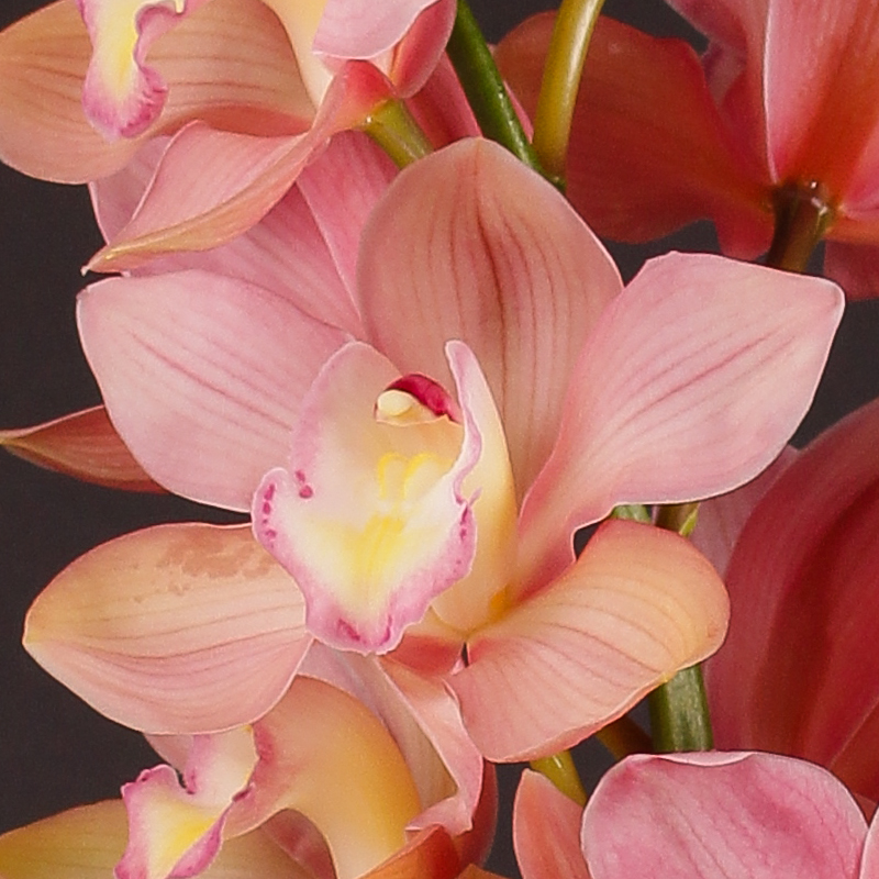 Cymbidium Salm Delight