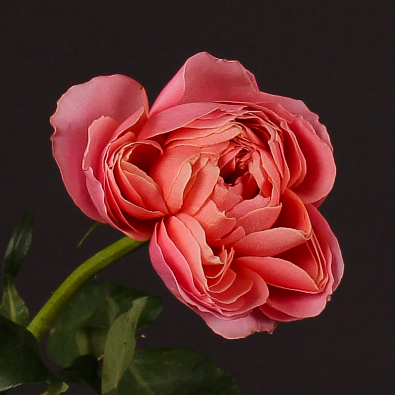 Rosa Romantic Antique