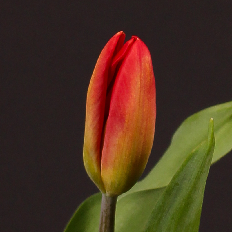 Tulip Strong Fire