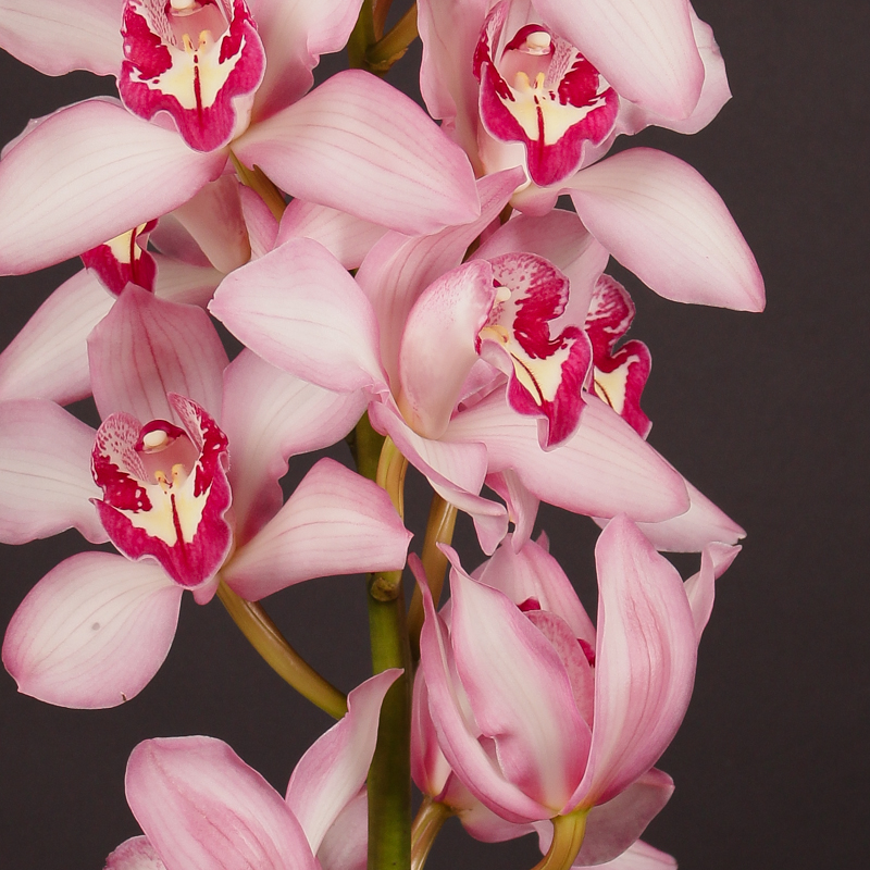 Cymbidium Geisha Girl