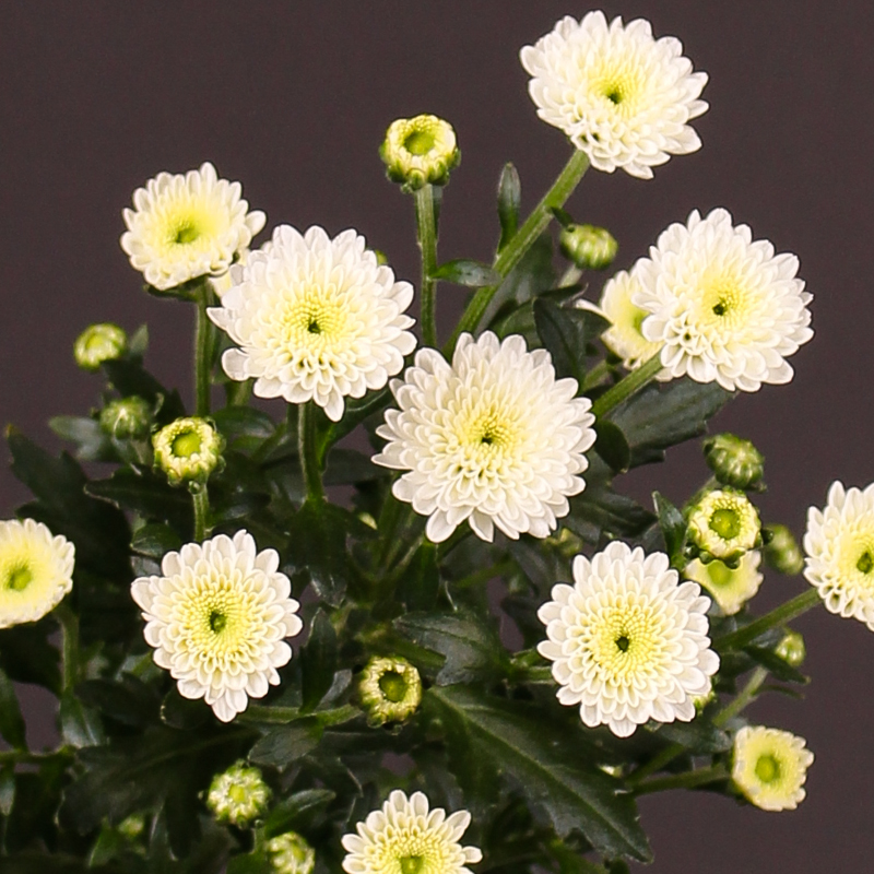 Chrysanthemum Calimero Snow