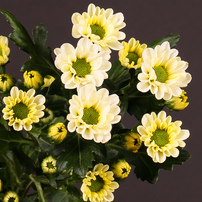 Chrysanthemum Rossi White