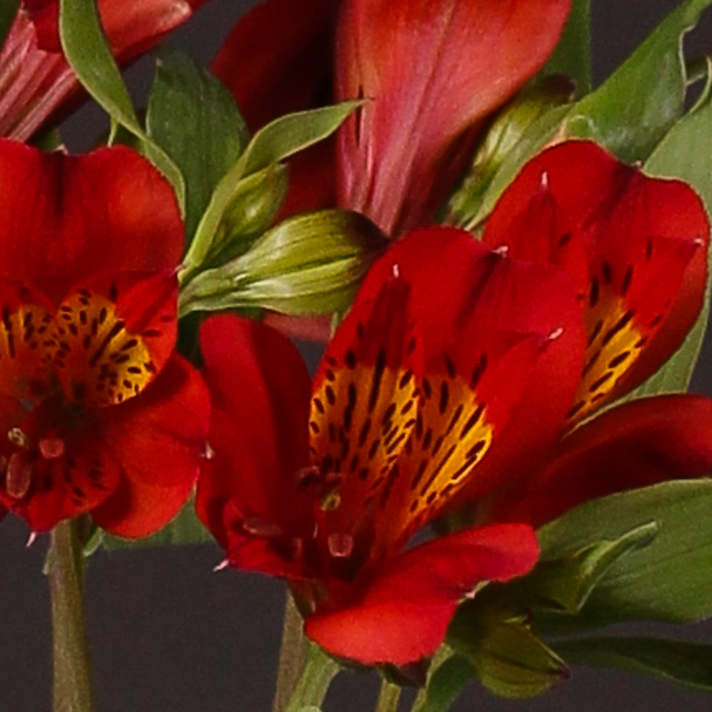 Alstroemeria Hot Pepper