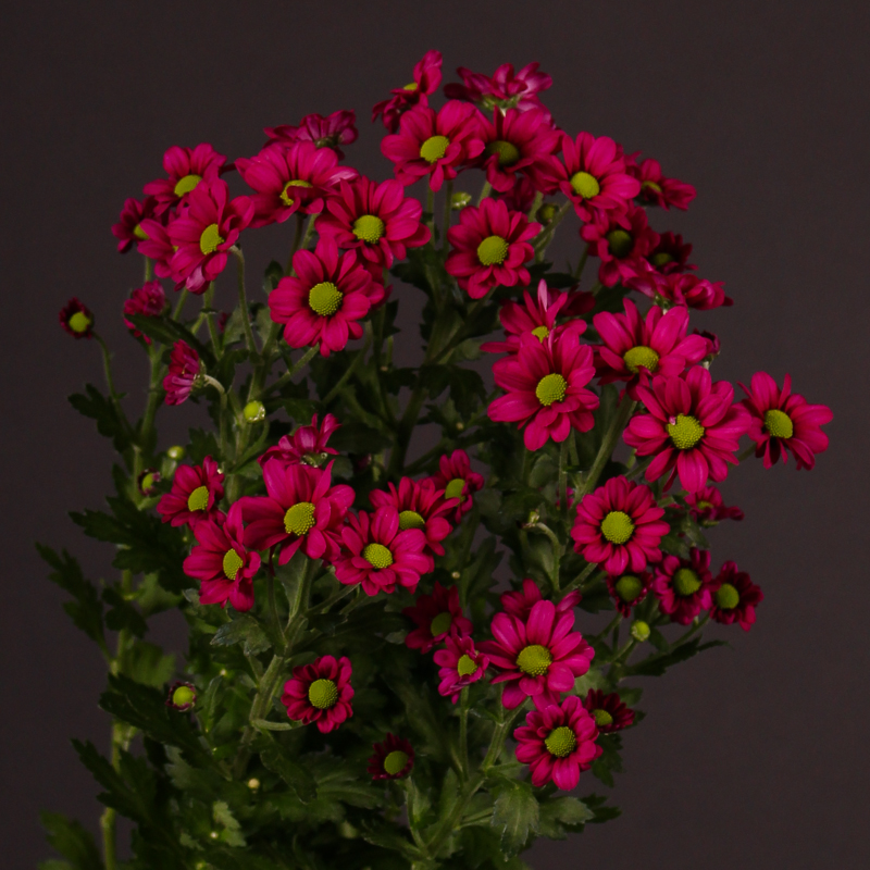 Chrysanthemum Madiba® Jombe Purple