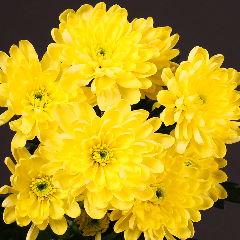 Chrysanthemum Baltica Yellow
