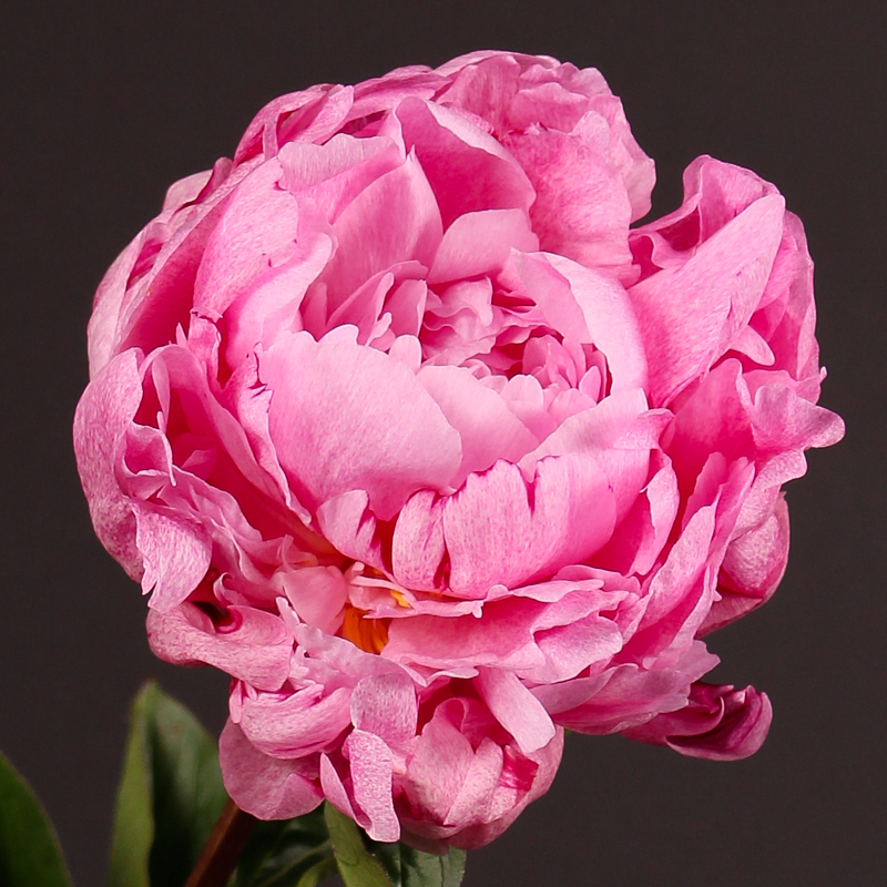 Paeonia Lactiflora The Fawn