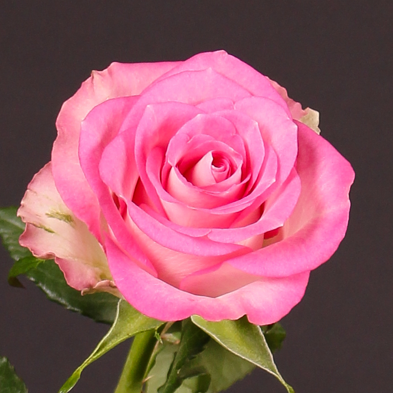 Rosa Pink Flame@