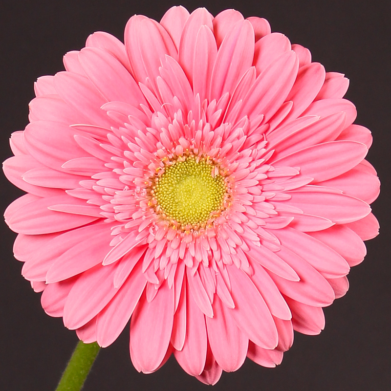 Gerbera Chipper