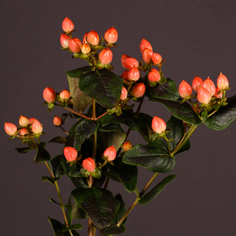 Hypericum Magical Pumpkin
